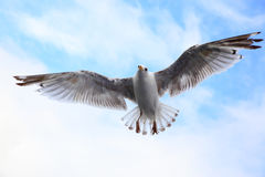 Flying sea-gull Royalty Free Stock Images