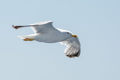 Flying sea gull on the sky Stock Images