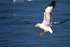 Flying sea gull. Swoop to the sea Royalty Free Stock Photography