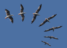 Flying Sea Gulls Stock Images