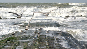 Flying sea-gulls and wild sea. Sea-gulls are flying against the wind during high tide and they are looking for food, while others are standing on the pier and Royalty Free Stock Photography