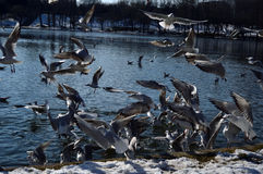 Flying sea mew Stock Photos