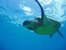 Flying Sea Turtle. Giant sea turtle seen from below swimming off Oahu, Hawaii Stock Photos