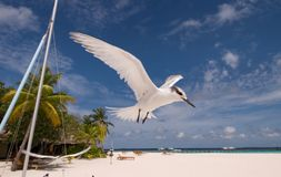 Flying seabird. A flying seabird on maldives island Royalty Free Stock Image