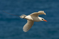 Flying Seabird Stock Images
