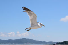 Flying seagul Stock Photography