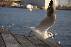 Flying Seagul. A flying Seagul from Barcelona harbor Royalty Free Stock Photography