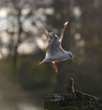 Flying Seagul Royalty Free Stock Images