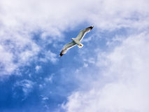 Flying seagull (1) Royalty Free Stock Images
