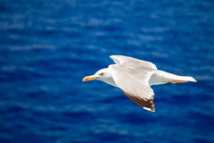 Flying seagull. Over blue water background Royalty Free Stock Photography