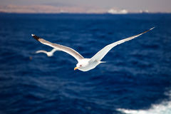 Flying seagull. S over blue water background Royalty Free Stock Photo