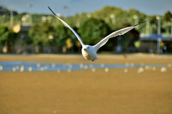 Flying Seagull. Flying over the beach Royalty Free Stock Photo