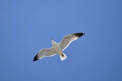 Flying Seagull. Seagull flying under the blue sky Stock Image