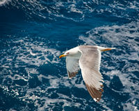 Flying seagull. Over blue water background Stock Photos