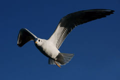 Flying seagull. A close up of seagull in Turkey royalty free stock photos