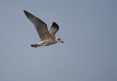Flying seagull. A photo of a Seagull stock image