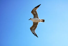 Flying seagull. Big seagull flying in the blue sky Stock Photo