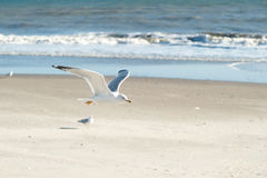 Flying seagull. Seagull flying at the beach Stock Photography