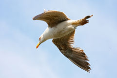 Flying seagull Stock Photo