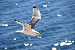 Flying seagull. Seagull in flight with water background Royalty Free Stock Photography