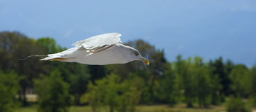 Flying seagull. Seagull in flight with landscape background Royalty Free Stock Photo