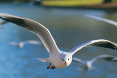 Flying seagull. Seagull flying and waiting for some food Royalty Free Stock Image