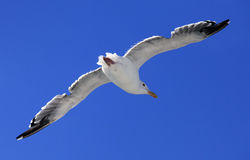 The flying seagull Royalty Free Stock Photos
