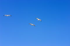 Flying seagull. On blue sky Royalty Free Stock Photo
