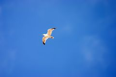 Flying seagull. On blue sky Stock Photography