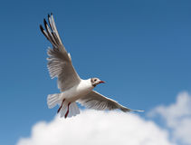 Flying seagull. A flying seagull against blue sky Stock Image