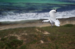 Flying seagull. On Penguin Island in Western Australia nearby Perth Royalty Free Stock Photography