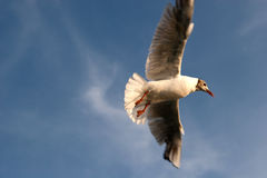 Flying seagull. In the sky Royalty Free Stock Photos