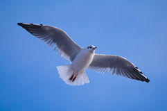 Flying seagull. Closeup of a flying seagull Royalty Free Stock Images