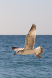 Flying seagull. Seagull flying over the sea Stock Images