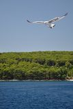 White Seagull with spread wings flying against a b Royalty Free Stock Photos