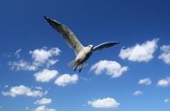 Free Flying Seagull Royalty Free Stock Images - 2822169