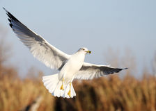 Flying seagull. The seagull is hunting for food stock photography