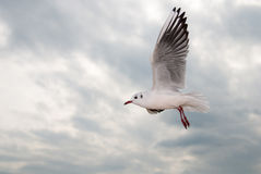 Flying seagull. In the sky Stock Photos