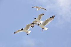 Flying seagull. 2014.4.23 Flying seagull Stock Photography