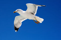 Free Flying Seagull Royalty Free Stock Photography - 45076007