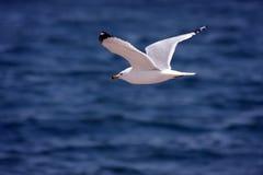 flying seagull στοκ φωτογραφία
