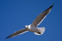 Free Flying Seagull  Royalty Free Stock Photography - 5391067