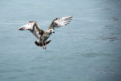 Flying Seagull. A Flying Seagull on the sea Royalty Free Stock Photo