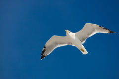 Flying seagull. On the blue sky background Stock Photography