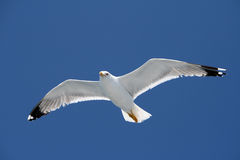 Flying seagull. This beautiful bird who follows the ship is a seagull Royalty Free Stock Images