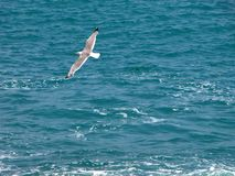 Flying seagull. Seagull flying over the sea Stock Photography