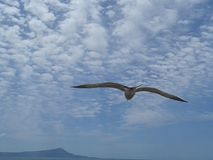 Flying Seagull above Cloudy Blue Sky.  Royalty Free Stock Photo