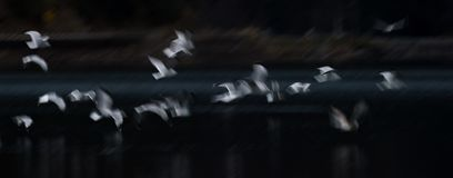 Flying Seagull Abstract Royalty Free Stock Photo