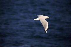 A flying seagull. A seagull flying across the sea Royalty Free Stock Photography