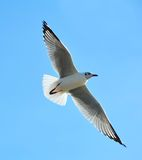 Flying seagull in action Stock Images